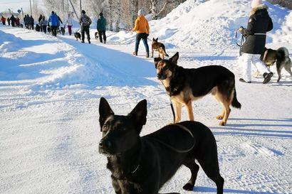 Koheltaako koira hihnassa? Koiraa kannattaa kouluttaa kävelylenkeillä - Kumppanina koira -ryhmäläisent kokoontuvat Kemissä ja Torniossa