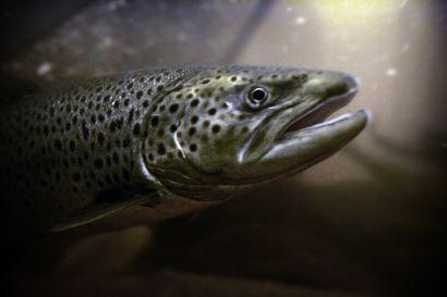 """Naamijoen latvavesillä parannetaan talkoovoimin meritaimenen lisääntymisalueita – """"Alueen purokunnostusten saralta tämä on tärkeä päänavaus"""""""
