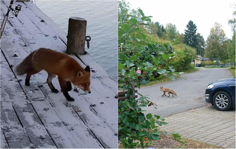 Yksi repolainen kuvattiin Toppilan Möljällä, toinen alkusyksystä Kuivasjärvellä.