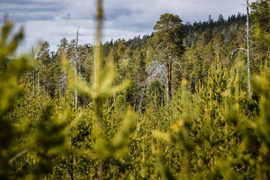 Valtaosa Kemera-tuesta käytettiin nuorten metsien hoitoon.