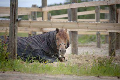 Toiveuusinta: Ravimiehen rakkaus – Antti Ojanperän sydämen veivät ensin hevoset ja sitten hevosnainen Jutta Ihalainen