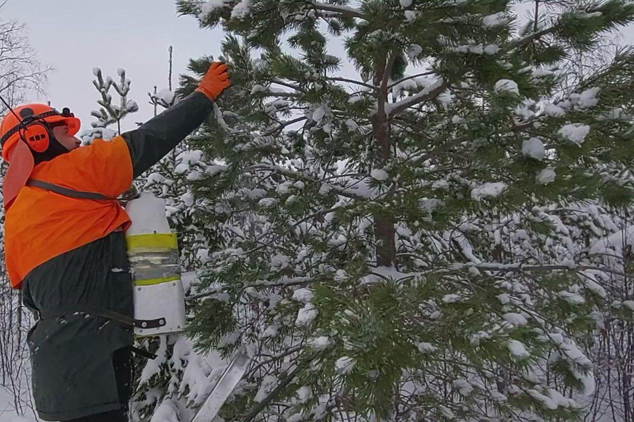 Arto Heikkinen käyttää itse kehiteltyä käpyjen poimintasäiliötä. Työtahti on rivakka.