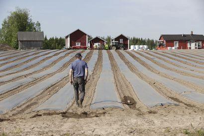 Marjatilat saivat kaipaamaansa työvoimaa myös rajojen sisäpuolelta – Poimijoista suurin osa edelleen ukrainalaisia, vaikka kolmannes heistä jäi kotiin