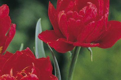 Ruukkuun istutetut sipulikukat kukkivat jo ennen pääsiäistä