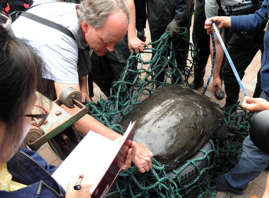 Tutkijat mittasivat viikonloppuna kuolleen kilpikonnan toukokuussa 2015. Sitä yritettiin turhaan saada lisääntymään.