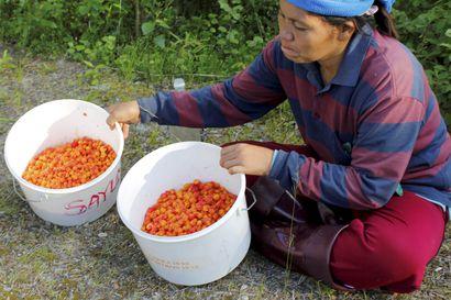 Thaimaa sallii marjanpoimijoiden tulon Suomeen, mutta yrittäjät eivät pidä vielä mitään varmana – Ruotsiin poimijoita on jo saapunut