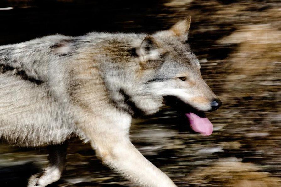 Arkistokuva. Kuvan susi ei liity uutisen tapaukseen.