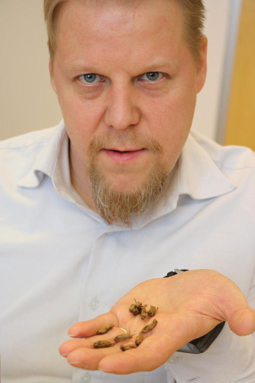 Antti Kämäräinen on kasvattanut Oulaisissa sirkkoja. Niistä on tehty muun muassa chili- ja valkosipulimaustettuja, pussitettuja tuotteita.