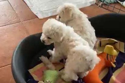 Kalevan koiranpentulive: Katso pentusten keskiviikkoaamun seikkailuja