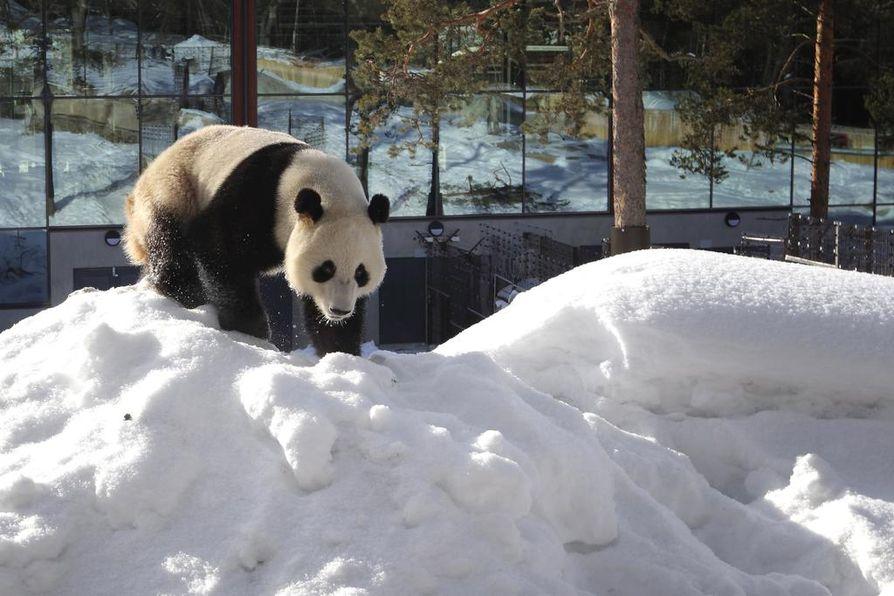 Ähtärin lumipandat ovat lisänneet Suomen näkyvyyttä Kiinassa.