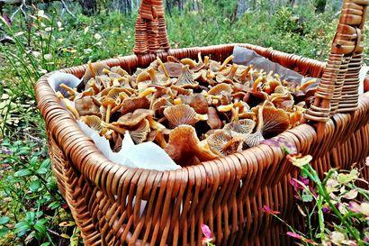 Suppilovahveroita löytyy runsaasti myös Syötteen seudulla – herkkua kannattaa etsiä tietyistä paikoista