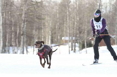 SM-mitalit jaetaan Kallinkankaalla – Valjakkohiihtäjät pääsevät koirien kanssa nauttimaan vähintäänkin maajoukkuehiihtäjien vauhdista
