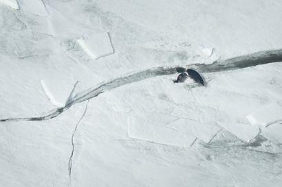 Jäätön talvi on kuuteille myrkkyä – Hyljetutkija: Tilanne heikentynyt jopa Perämerellä