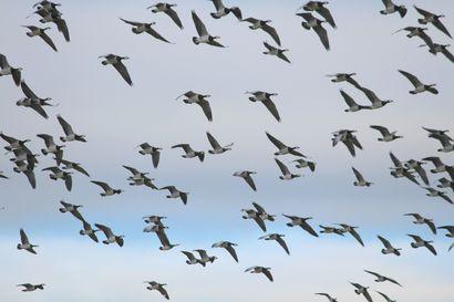 """MTK: valkoposkihanhien aiheuttamat peltovahingot """"räjähtivät aivan uudelle tasolle"""" – lintua toivotaan siirrettäväksi luonnonsuojelulaista metsästyslain piiriin"""