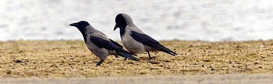 Raven musta seksiä