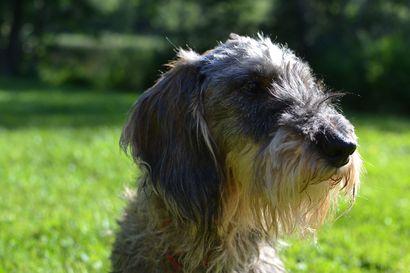 Kesä tuo yllättäviäkin vaaroja koirille –kurkkaa Kennelliiton eläinlääkärin vinkit ja ohjeet siihen, kuinka viettää turvallinen kesä koirasi kanssa