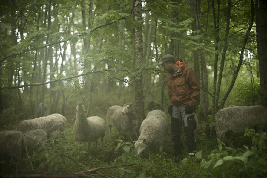 Lampaat pitävät huolen Ärjänsaaren lehtoalueesta, ja Eero Karhio pitää huolen lampaista.
