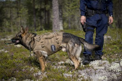 Vuoden 2020 virkakoirat valittu – labradorinnoutaja Massi on käräyttänyt urallaan 1,3 miljoonaa euroa laitonta käteistä