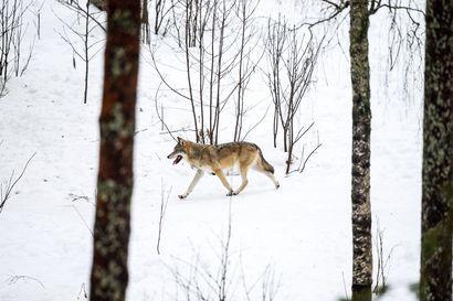 Ranuan eläinpuiston talvisesonki on jo lähes yhtä vilkas kuin kesä – talvikävijöiltä jäävät näkemättä vain ruskeakarhut ja muuttolinnut