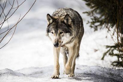 Kärsämäen kunta huolissaan: Sudet tulleet pihapiirien läheisyyteen ja tappaneet kotieläimiä sekä metsästyskoiria