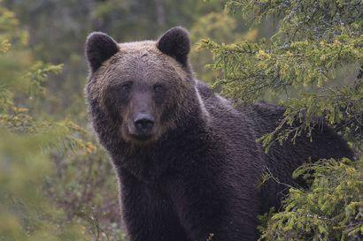 Karhun metsästyskiintiö kasvaa jälleen tulevalle metsästyskaudelle – Poronhoitoalueelle silti viime vuotta vähemmän lupia