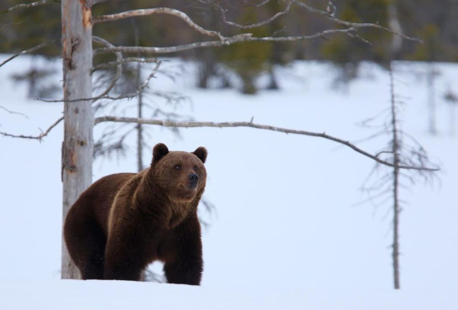 Nyt vahvistettu kiintiö (313) on 42 karhua pienempi kuin edellisen metsästyskauden kiintiö (355). Metsästyskaudella 2017–2018 kiintiö oli 255 karhua.