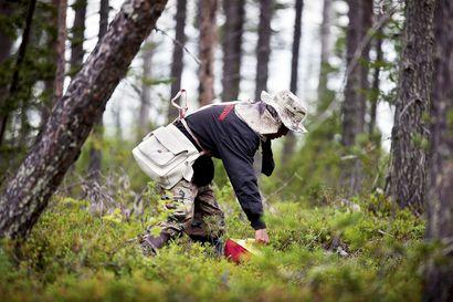 Metsämarjanpoimijoiden sallimisesta päätettävä parin viikon sisään – ukrainalaiset jo matkalla Suomen puutarhoille