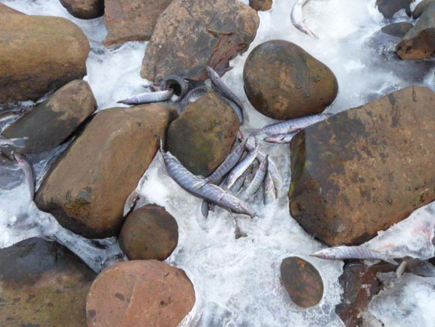 Oulunsalon Varjakassa sijaitsevalla Akionlahdella on havaittu kevään aikana suuria määriä kuolleita kaloja.