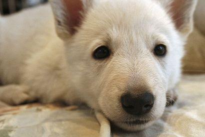 Perinteisiä jouluherkkuja kuten suklaata ja kinkkua ei kannata antaa koirille – hiivataikina voi aiheuttaa koiralle humalaa muistuttavan sekavan olotilan