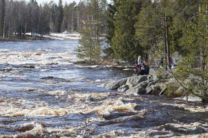 Lämmin sää kasvattaa Kiiminkijoen virtaamaa nopeasti, tulvahuippu saavutetaan viikonloppuna – pieniä teitä poikki useilla alueilla