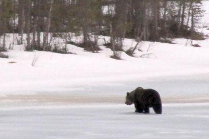 Metsästäjälle vaaditaan ehdollista vankeutta alle vuoden ikäisen karhunpennun ampumisesta Kuusamossa – syytetty kiistää toimineensa tahallisesti, uskoo pennun emän tulleen ammutuksi