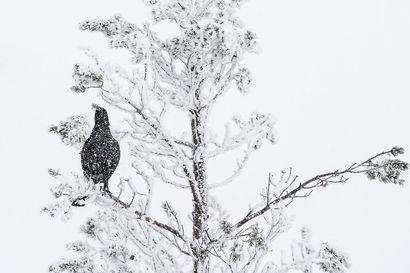 """""""Nyt on hyvät olosuhteet liikkua maastossa"""" – metson ja teeren talvimetsästys alkaa viikon päästä"""