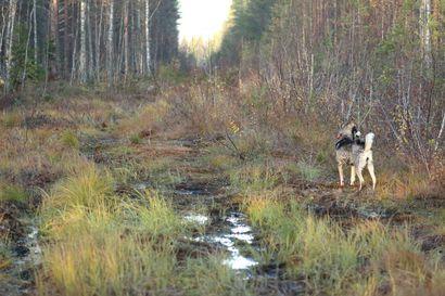 Sudet tappaneet viikossa neljä metsästyskoiraa Pohjois-Pohjanmaan eteläosassa – riittävätkö perusteet vahinkoperusteiselle luvalle?