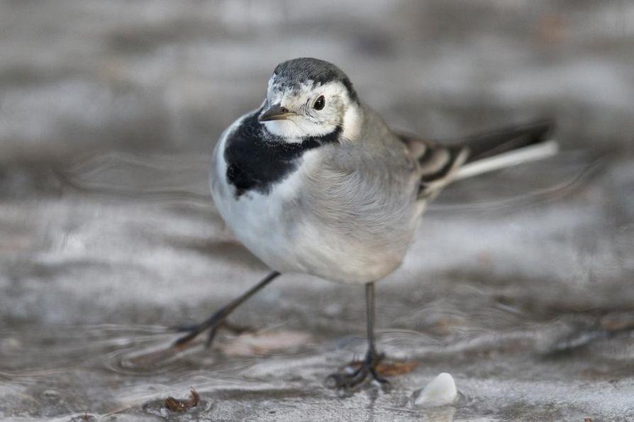 Lintujen kevätmuutto alkaa olla ohitse. Kuvassa västäräkki.