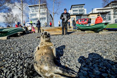 Oulun Merijalinrannasta pelastetulle Toivo-kuutille kuuluu hyvää – kalat maistuvat Ranualla saalistamaan opettelevalle hylkeenpoikaselle, paluu merelle koittaa pian