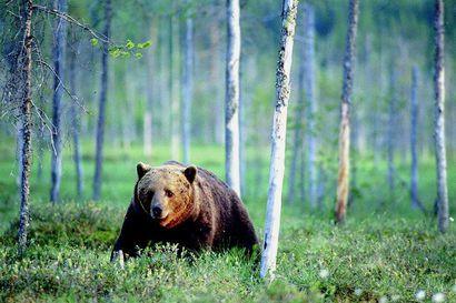 Karhujahti käynnistyi – Kuusamossa kaadettu kuusi karhua, Taivalkoskella yksi