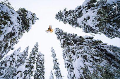 """Kuusamon Konttaisella kuvattu kuukkeli-kuva voitti maailman suurimman luontovalokuvakilpailun. – """"Käytin kuvauksiini neljä päivää ja otin yhteensä 1500 kuvaa"""""""