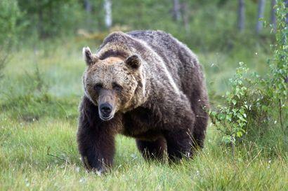 Karhu ja auto törmäilivät Revonlahdella – kontio selvisi vähillä vammoilla