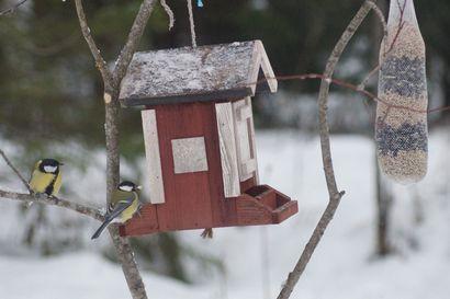 Viime viikot ovat olleet Meri-Lapissa talvehtiville linnuille vaikeaa aikaa, sillä entistä harvemmissa pihapiireissä näyttää olevan tarjolla vatsantäytettä