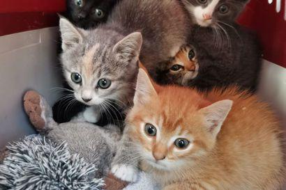 """Kissojen pentutehtailu on lisääntynyt koronan myötä – Popopet: """"Maatiaiskissoista saatetaan pyytää reilusti yli 500 euroa, minkä seurauksena pentuja on alettu teettää enemmän"""""""