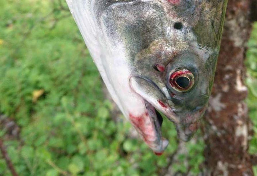 Galddoaivi Safarisin kalastusopas nappasi sairaan lohen Näätämöjoella.