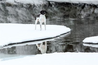 Tiedätkö, miten toimia, jos koira juoksee heikoille jäille tai tippuu jäihin? – Kurkkaa jutusta vinkit