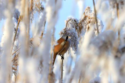 Raahelainen Mirja Lehtelä otti yhden vuoden upeimmista lintukuvista: Katso ja hämmästy