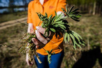 Lupiinit ja kurtturuusut silmissä: Mitä pahaa upeassa lupiinissa on – Asiantuntija kertoo miksi vieraslajit pitää poistaa