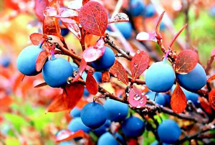 Hyviä antioksidantteja. Tehokkaan flavonoidin, kversetiinin pitoisuus on juolukassa korkeampi kuin missään muussa marjassa.