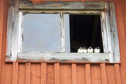 Pääskysiä lennähti Koillismaalle – Kevään ensimmäiset havainnot tehtiin Lohirannan kylässä Posiolla keskiviikkoaamuna