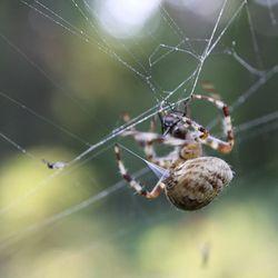 """AITORISTIKKI PYYDYSTÄÄ KÄRPÄSEN: Ristikki saa vasempaan takajalkaan hälytyksen verkkoon takertuneesta hyönteisestä ja rientää heti paikalle. Se antaa hyönteiselle nopeasti ja armeliaasti myrkkyannoksen, joka samalla alkaa sulattamaan hyönteisen sisäelimiä ristikille sopivaan muotoon. Sitten ristikki vetää peräpäästään """"tuorekelmua"""", jolla se paketoi saaliin sitä kätevästi pyörittämällä. Kun paketti on valmis, ristikki vaihtaa peräpäästään tulevan kelmun seittilankaan, jolla se kiinnittää saaliin verkon keskiosaan. Siellä on useita tummuneita/kypsyneitä saaliita, joita ristikki käy imemään. Samalla jokainen jalka on eri yhdyslangalla, jotta ristikki saa heti tiedon, mihin kohtaa verkkoa on takertunut uusi saalis."""