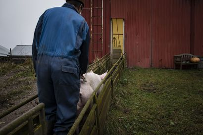 Juuri nyt Suomen teurastamoissa teurastetaan tuhansia sikoja päivässä joulukinkuiksi – kävimme luomutilalla todistamassa Hilla-sian viimeisen taipaleen