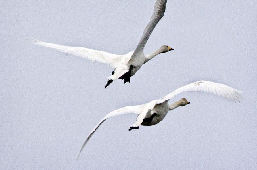 Ilmoitukset jäätyneistä joutsenista lisääntyvät syksyn edetessä. Päivystävä palomestari kehottaa seuraamaan lintujen liikkeitä ainakin seuraavaan päivään ennen ilmoittamista.