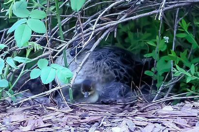 Haapana hautoi poikuetta Oulussa omakotitalon pihassa viikkotolkulla, naapurustokin jännäsi – lukija tallensi söpöt poikaset kuviin ja videoon